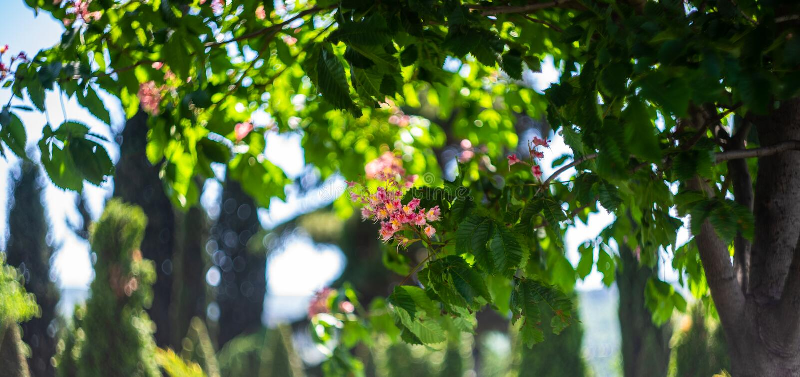 flores da ?rvore do chesnut imagem de stock