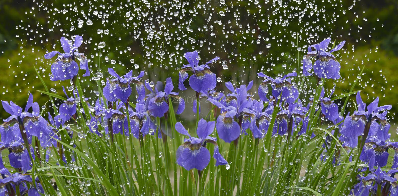 Flores da íris na chuva fotos de stock
