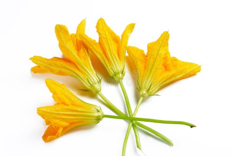 Flores da abóbora fotos de stock royalty free