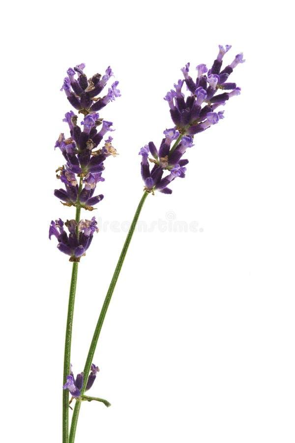 Download Flores da alfazema foto de stock. Imagem de beleza, perfume - 10068278