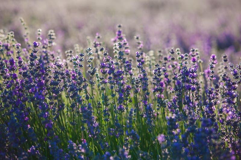 Flores da alfazema de Provence imagens de stock royalty free