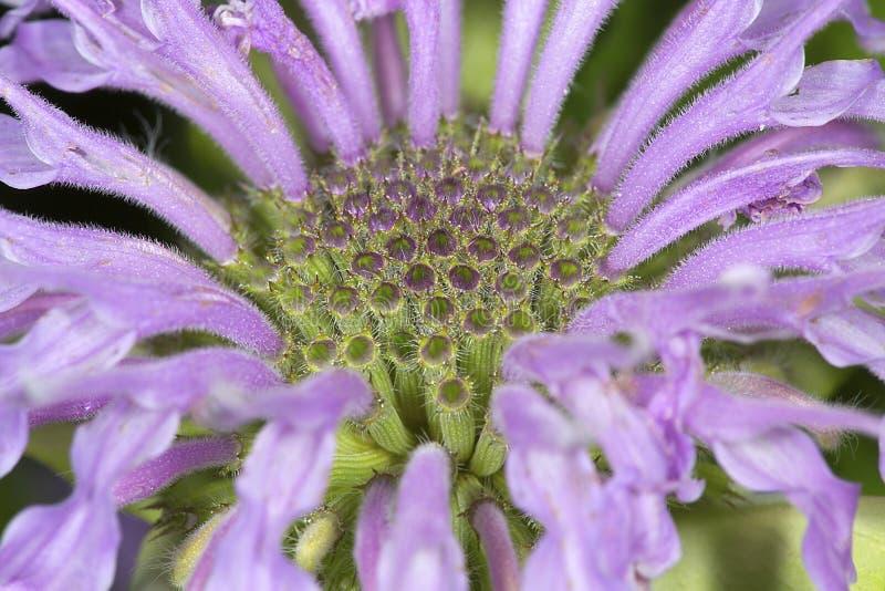 Flores da alfazema do bálsamo de abelha em Vernon, Connecticut imagem de stock