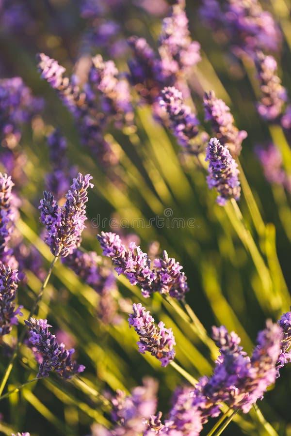 Flores da alfazema em Valensole, Provence, França imagens de stock