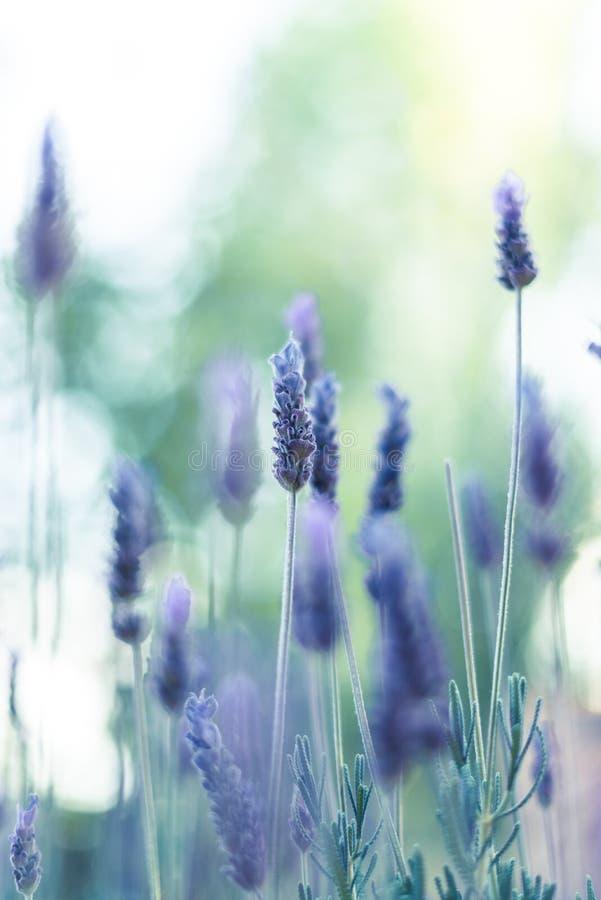 Flores da alfazema na luz solar 1 foto de stock