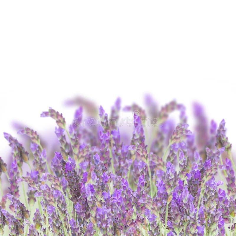 Flores da alfazema no branco imagem de stock