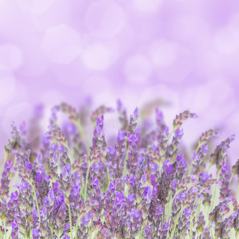 Flores da alfazema no branco imagem de stock royalty free