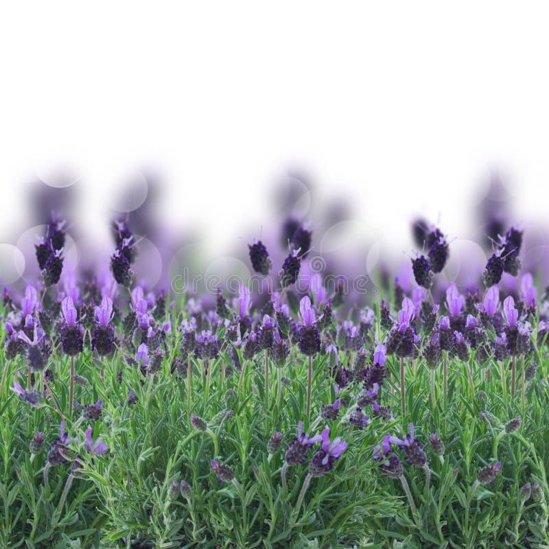Flores da alfazema no branco imagens de stock royalty free