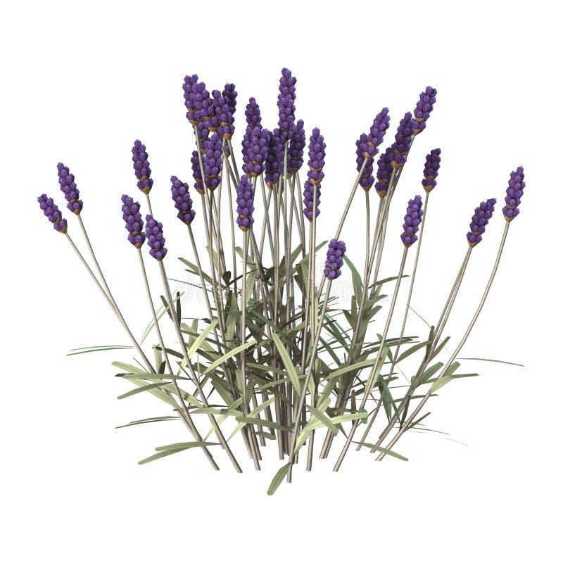 Flores da alfazema no branco foto de stock