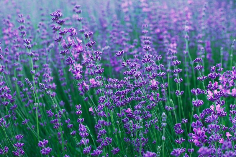 Flores da alfazema no campo foto de stock royalty free