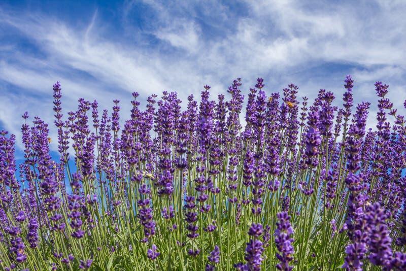 Flores da alfazema no campo imagens de stock