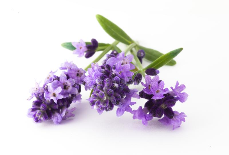 Flores da alfazema no close up fotografia de stock