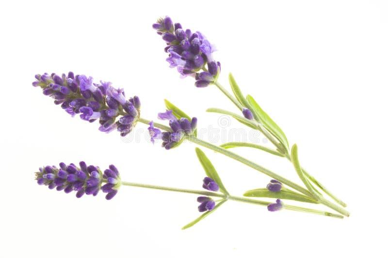 Flores da alfazema no close up imagem de stock royalty free