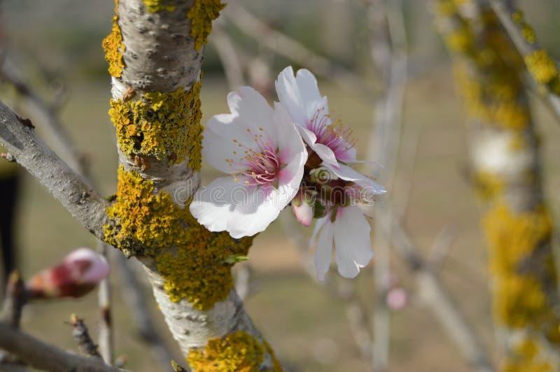 Flores da amêndoa fotos de stock royalty free