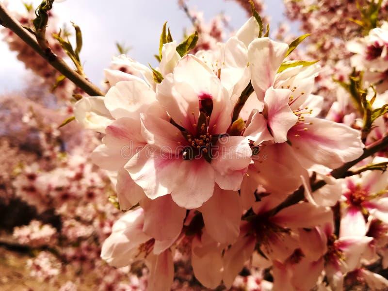 Flores da amêndoa na ilha de Akdamar imagens de stock royalty free