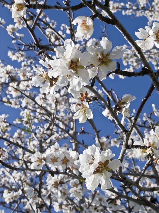 Flores da amêndoa sob um céu azul fotografia de stock