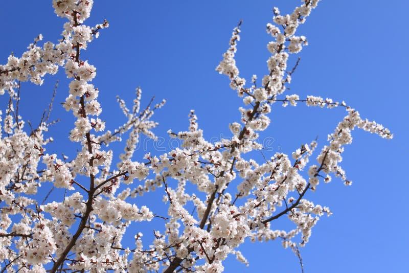Flores da ameixa imagem de stock