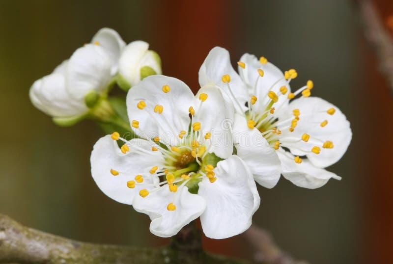 Flores da ameixa da flor da mola foto de stock