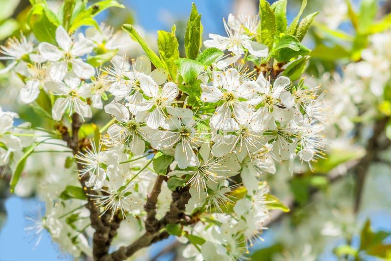 Flores da ameixa da mola foto de stock