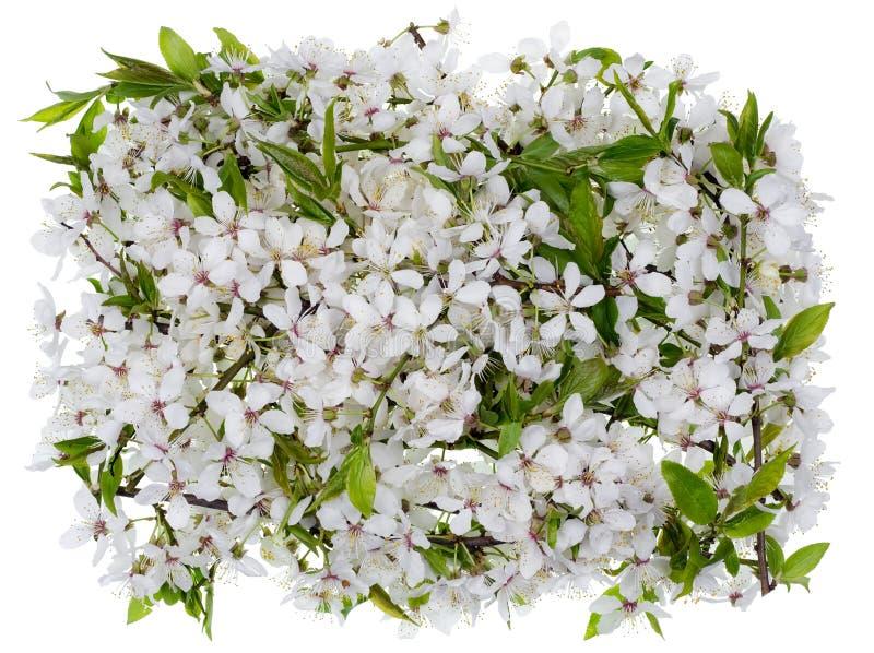 Flores da ameixa da mola isoladas fotografia de stock royalty free