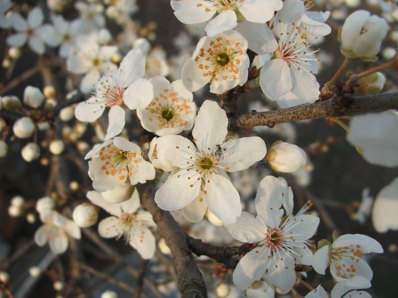 Flores da ameixa de cereja fotografia de stock