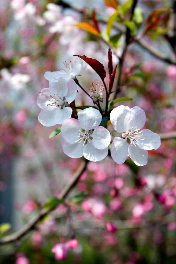 Flores da ameixa na mola fotos de stock royalty free