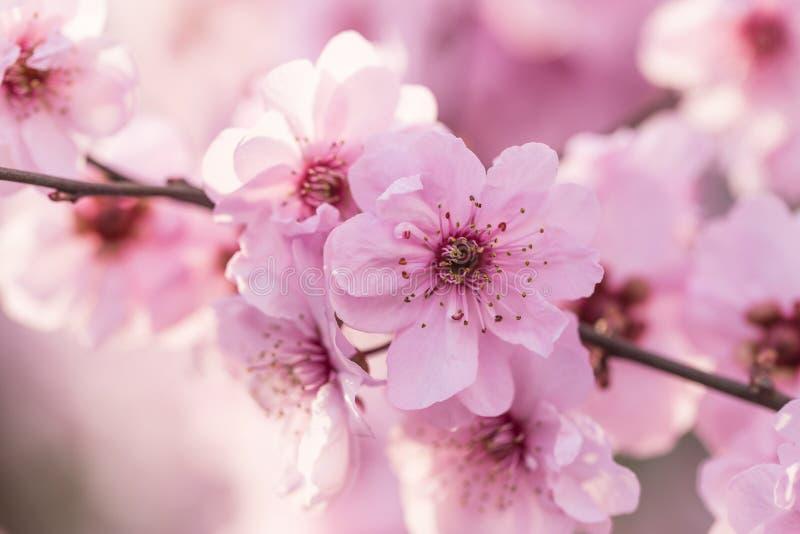 Flores da ameixa na mola fotografia de stock royalty free
