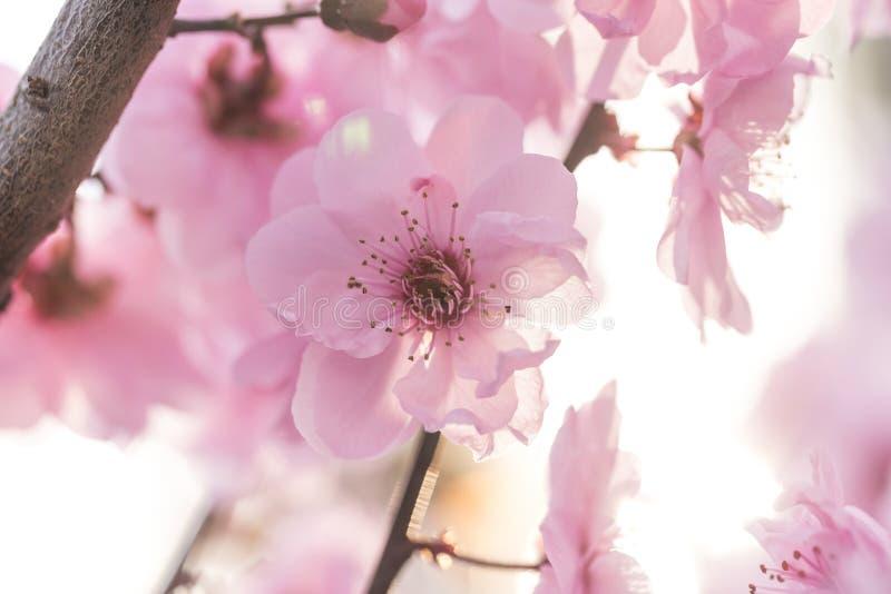 Flores da ameixa na mola imagens de stock