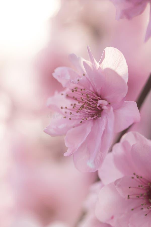 Flores da ameixa na mola fotografia de stock