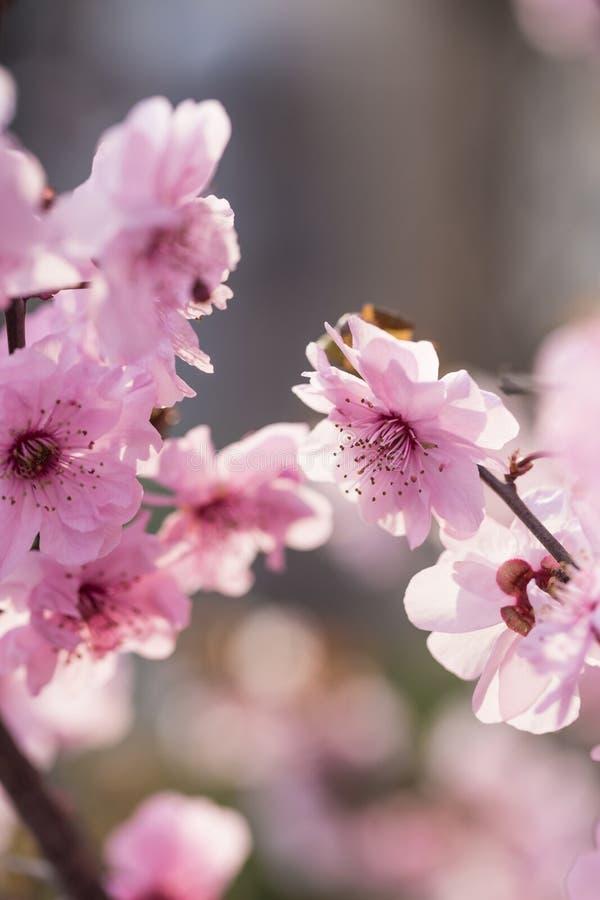 Flores da ameixa na mola fotos de stock