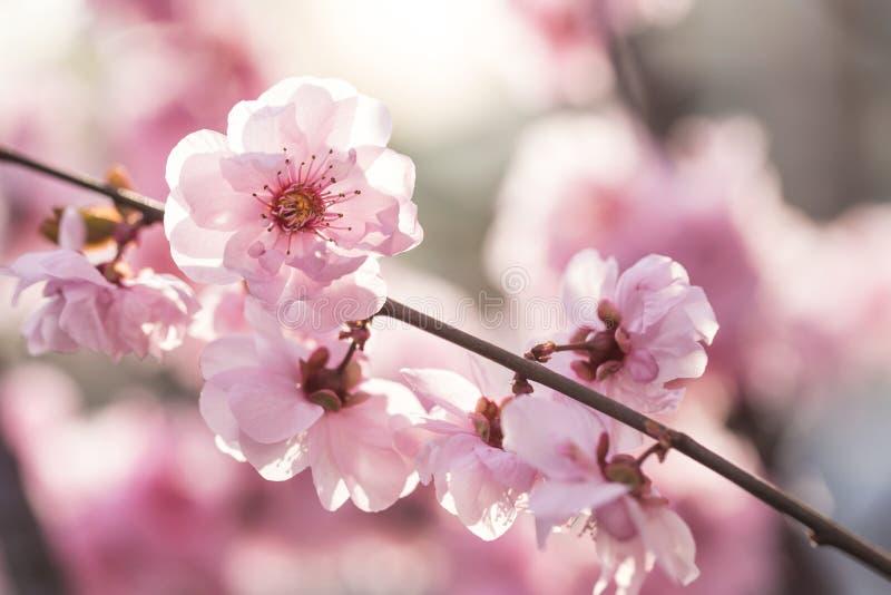 Flores da ameixa na mola imagens de stock royalty free