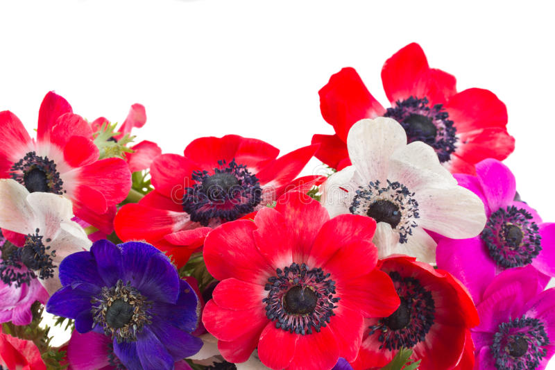 Flores da anêmona imagem de stock