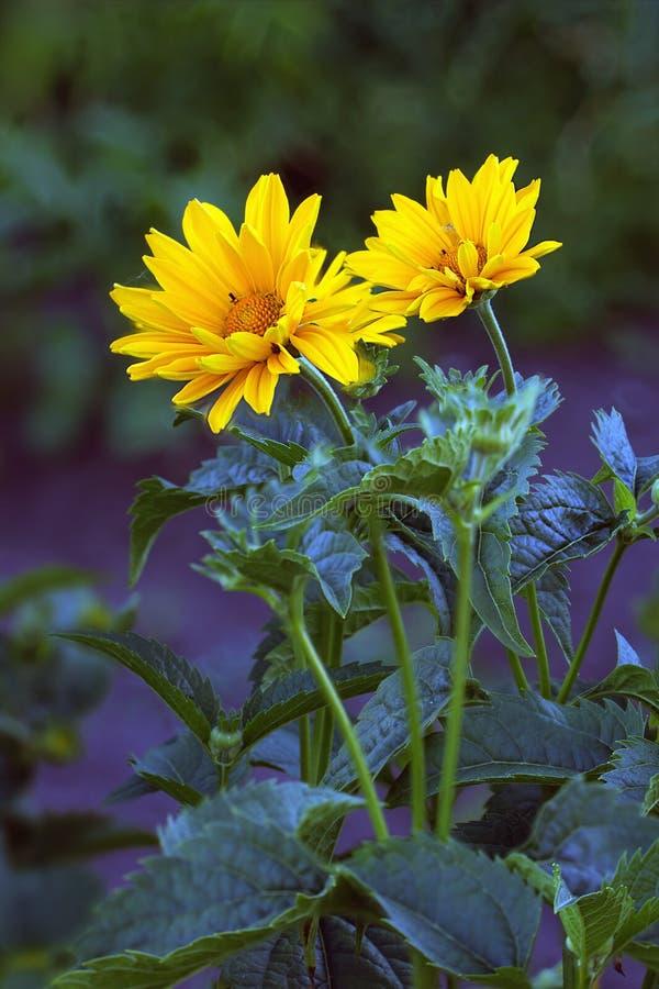 Flores da arnica imagem de stock