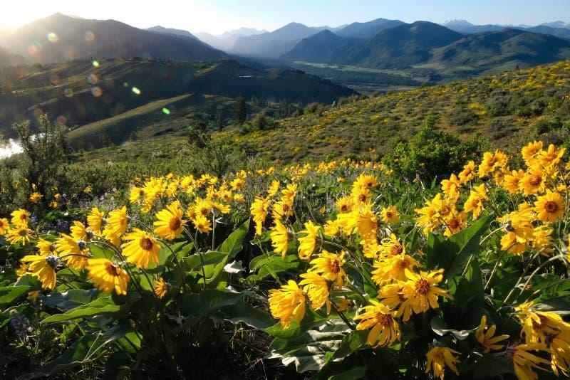 Flores da arnica ou do Balsamroot em prados bonitos imagens de stock royalty free
