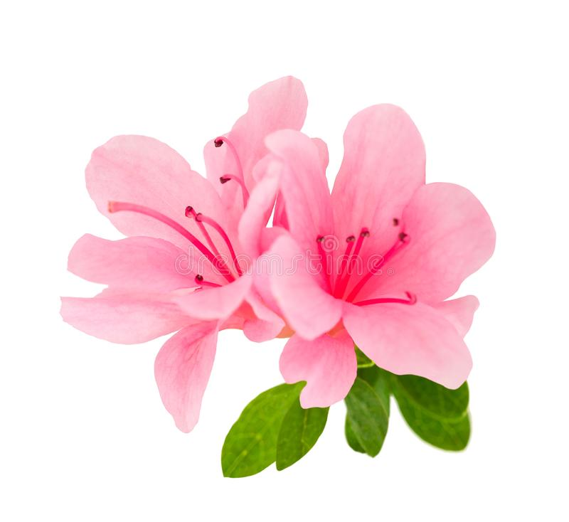Flores da azálea isoladas fotos de stock