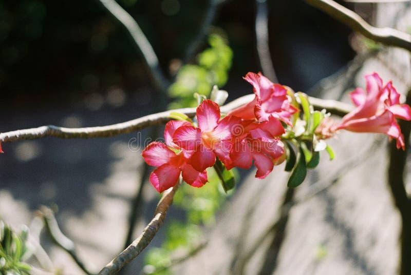 Flores da azálea pela fotografia do filme imagens de stock royalty free