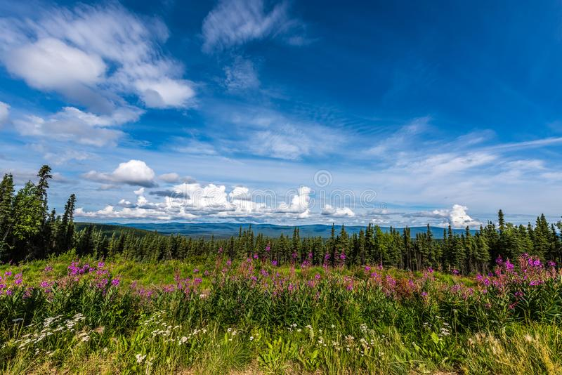 Flores da azaléia do verão perto de Fairbanks, Alaska fotos de stock