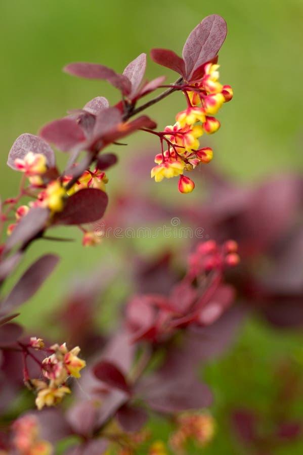 Flores da bérberis foto de stock royalty free