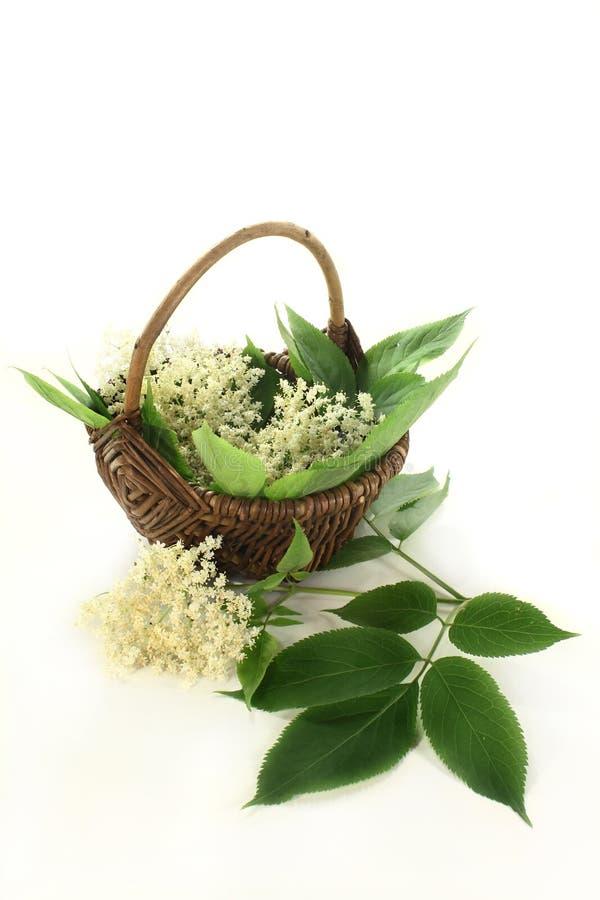 Flores da baga de sabugueiro foto de stock