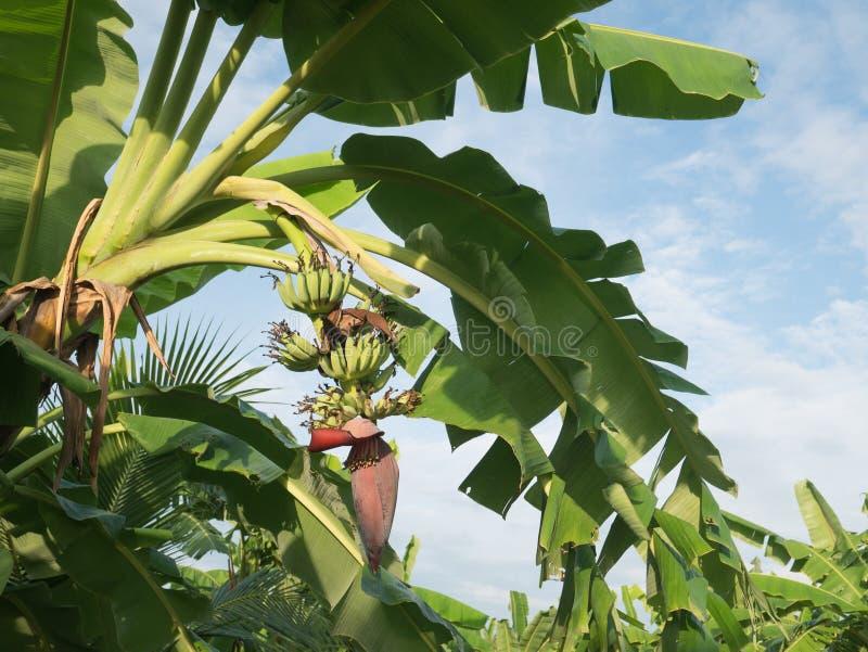 Flores da banana e banana que penduram em uma árvore de banana imagens de stock