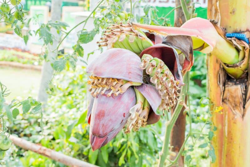 Flores da banana em uma árvore foto de stock
