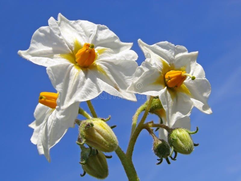 Download Flores da batata imagem de stock. Imagem de verde, planta - 10058427