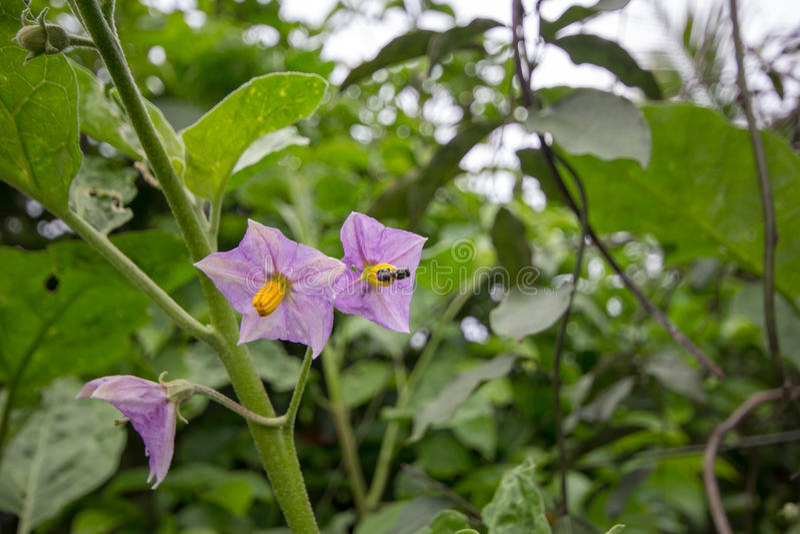 Flores da beringela imagem de stock