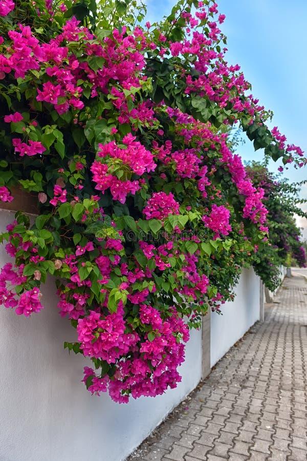 Flores da buganvília fotos de stock royalty free