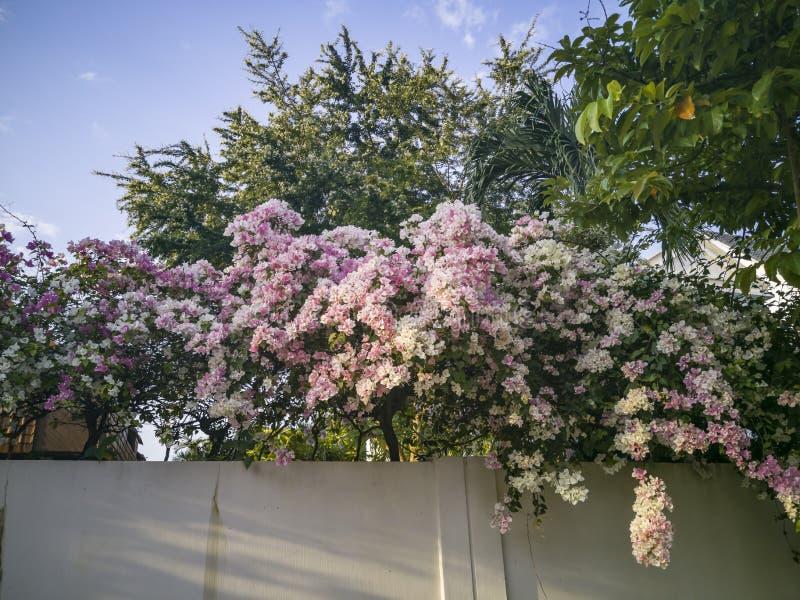 Flores da buganvília em uma cerca da parede foto de stock royalty free