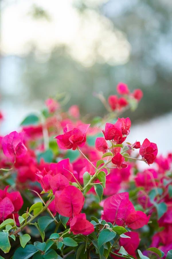 Flores da buganvília Flores roxas da árvore da buganvília foto de stock royalty free