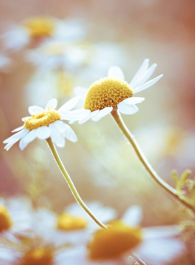 Flores da camomila fotos de stock