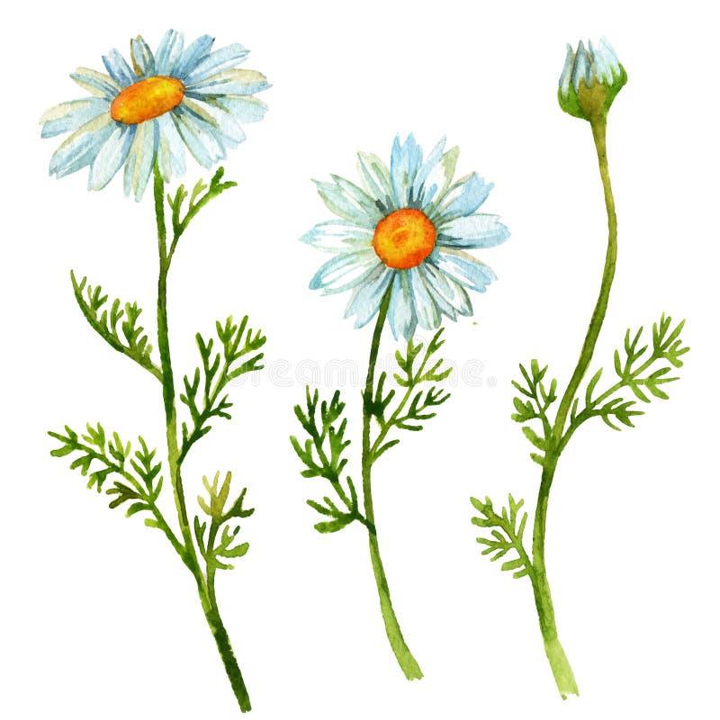 Flores da camomila ajustadas ilustração stock