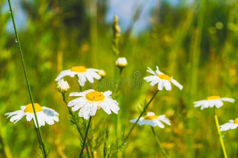 Flores da camomila com gotas de orvalho fotos de stock royalty free