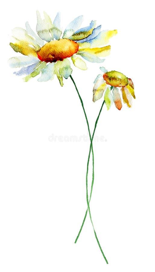 Flores da camomila do verão ilustração do vetor