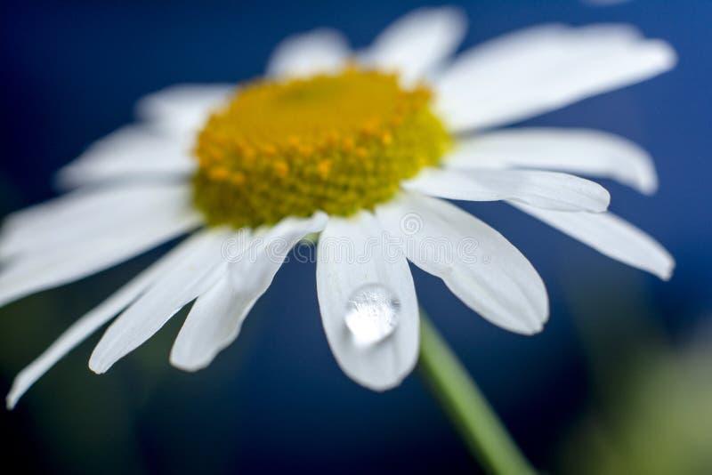 Flores da camomila e gota da ?gua imagens de stock royalty free